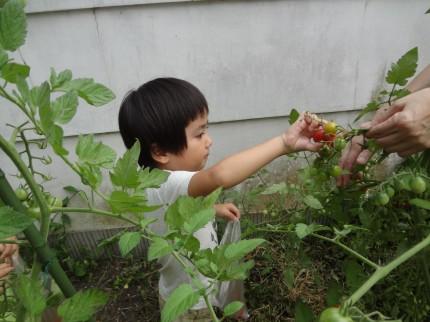 子どもたちよりトマトの樹が大きいです
