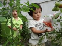 畑のトマトです